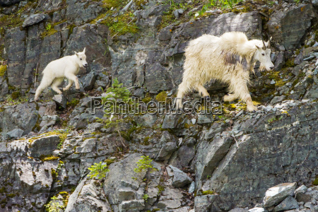 mountain goats spend time along the