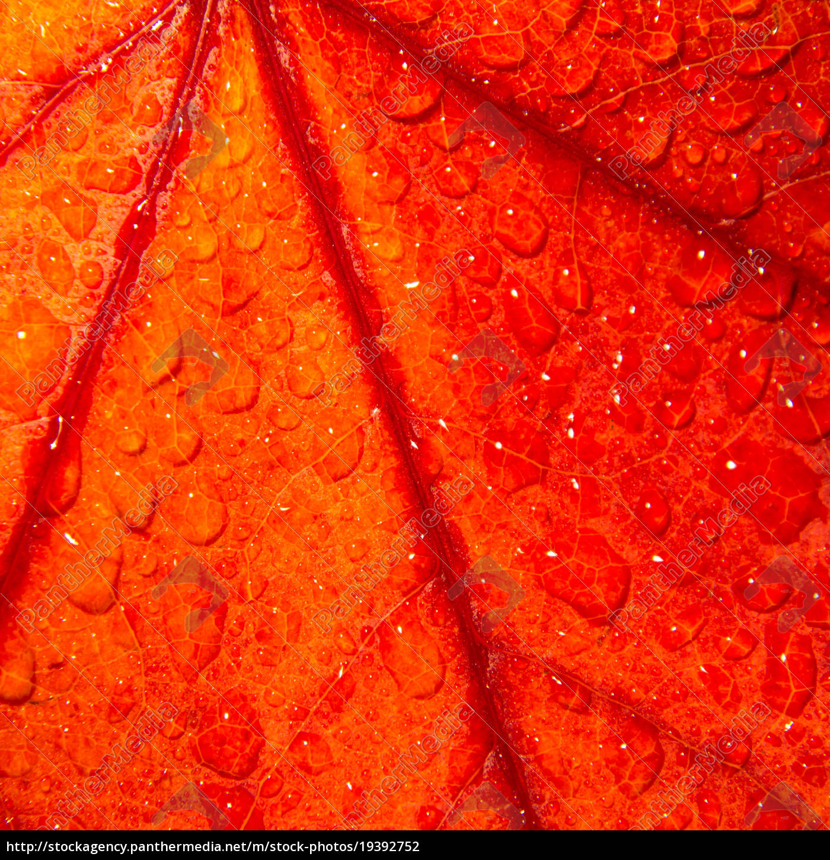 Autumn Leaf Closeup Royalty Free Photo 19392752 Panthermedia Stock Agency