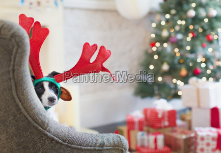 portrait, dog, wearing, reindeer, antlers, near - 19399228