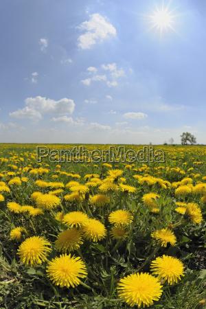 field of dandelions burgenland austria