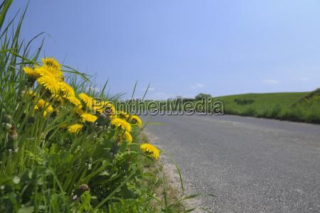 dandelions on side of road