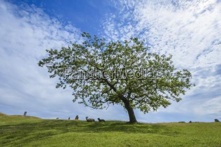 oak tree on burial site of