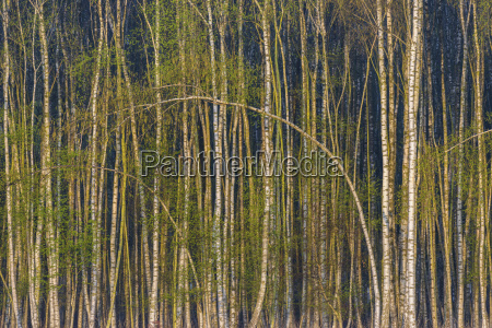 birch forest in spring hesse germany