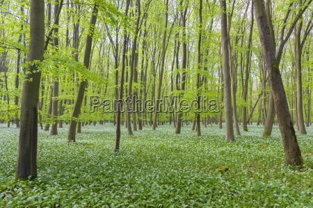 european beech forest fagus sylvatica with
