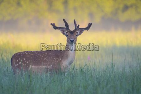 male fallow deer cervus dama in
