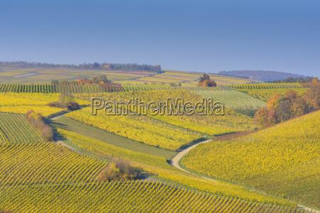 colorful vineyards in autumn volkach alte