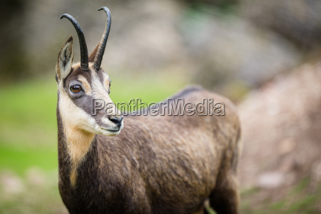 chamois rupicapra rupicapra within its natural