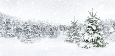 fir trees in the snow at