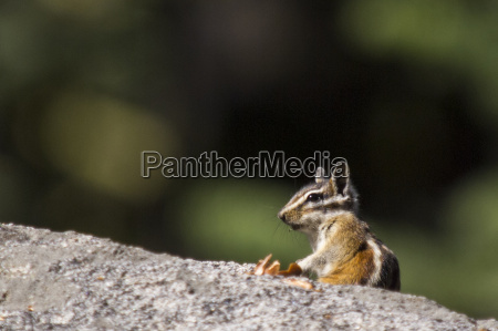 chipmunk eutamias sp yosemite national park