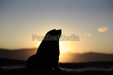 silhouetted southern fur seal arctocephalus forsteri