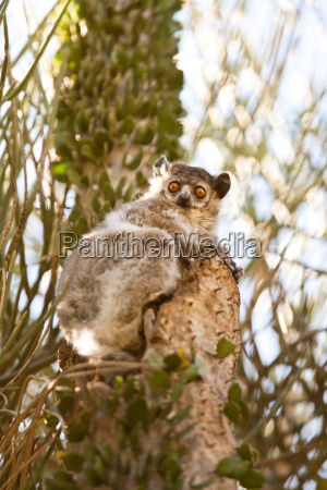 a white footed sportive lemur berenty