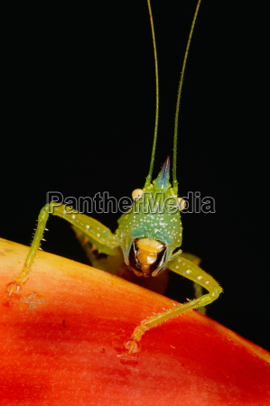 the katydid a type of grasshopper