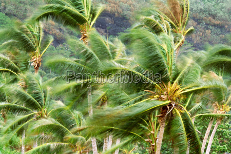 palm trees in gale force wind