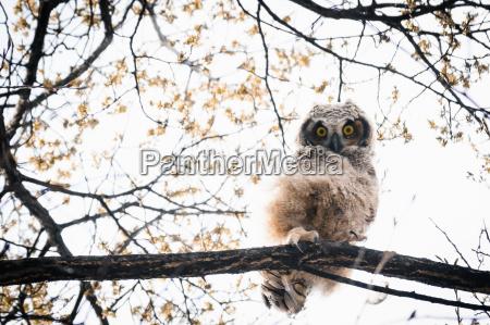 great horned owlet bubo virginianus peering