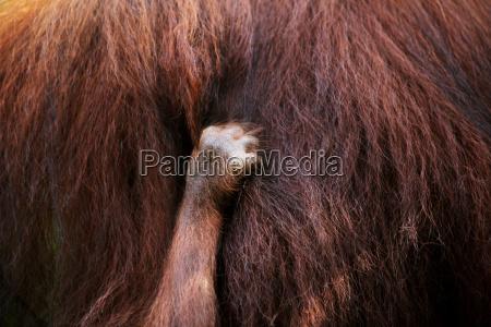 hand of a baby orangutan holding