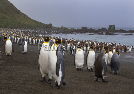 king penguins amongst the colony on