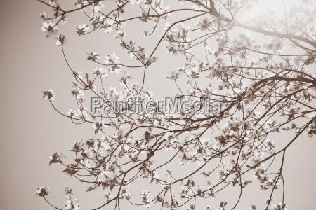 sunlight on blossom of dogwood tree