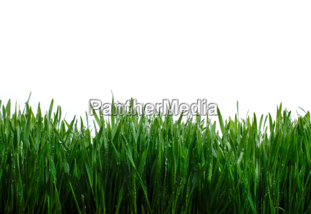 blades of grass against white background