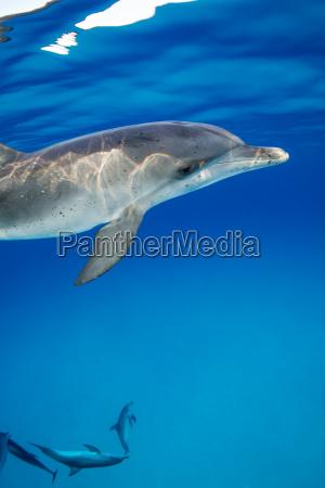 spotted dolphin bahamas