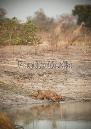 lions drink from a small lake