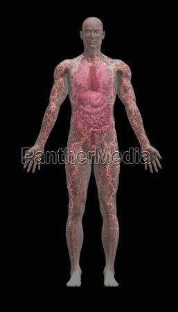 transparent male human body showing internal