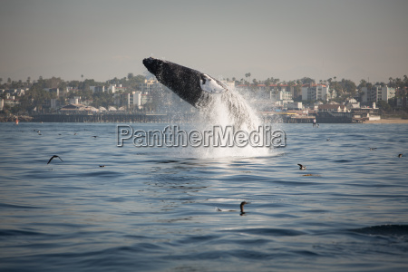 side view of humpback whale breaching