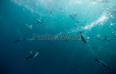 crested penguins swimming underwater