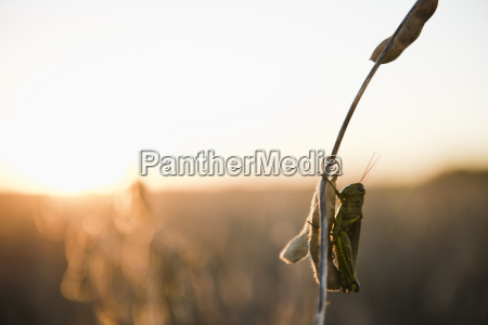silhouetted grasshopper on soybean stem at