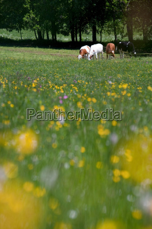 cows at a farm near col