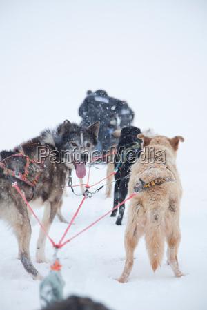 huskies pull a sleigh through deep