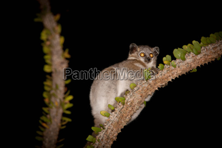 a white footed sportive lemur in