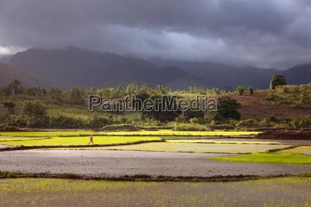 a man runs across a paddy