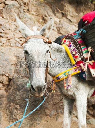 a laden donkey walks up a