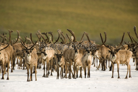 a herd of caribou bulls rests