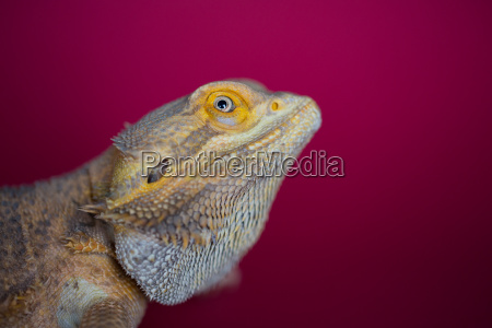 side view of yellow colour reptile