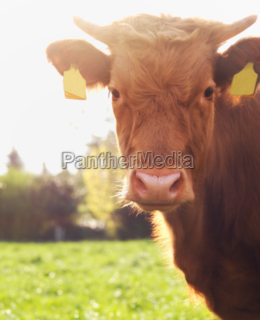 brown cow in field close up