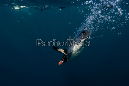 crested penguin swimming underwater