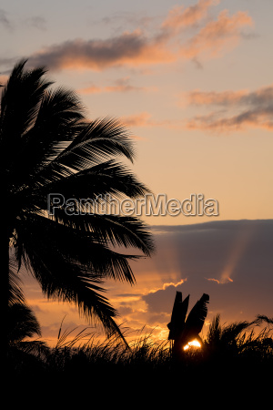 coconut tree palm silhouette and sunset