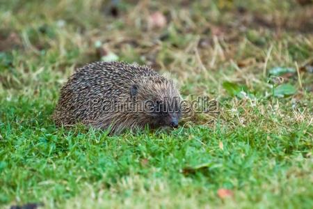 european hedgehog foraging in garden at