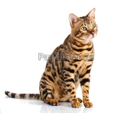 portrait of a purebred bengal cat