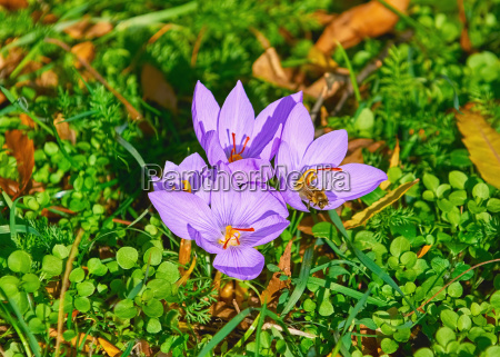 saffron crocus blooming