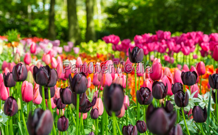 flower field of colourful tulips in