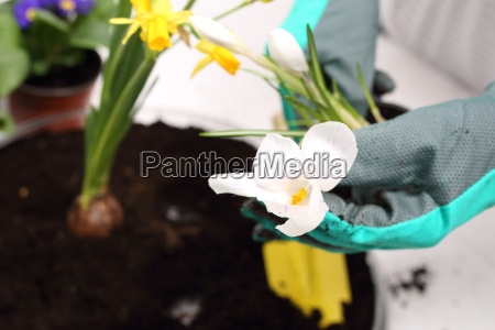 woman plants colorful flowers in pots
