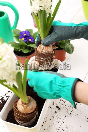 planting bulb plants hyacinth hyacinth transplanting