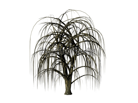 weeping willow on free field