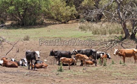 cattle herd on a farm near