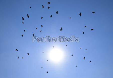 silhouette of a flock of blackbird