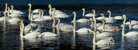 swan beak feathering waterfowls waterfowl beaks