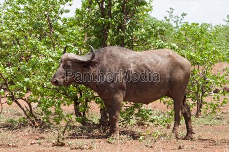 african buffalo syncerus caffer kruger national