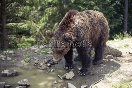 predatory brown grizzly bear in the